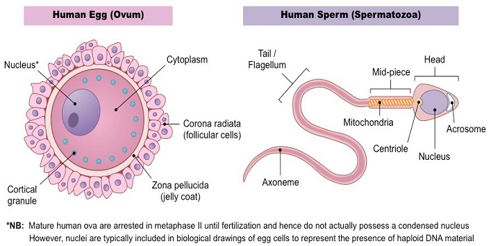Cells-in-human-body