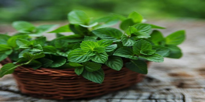 must-have-herbs-in-the-indian-kitchen-3